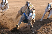 Want to own a Racing Greyhound?
